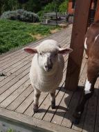 """Le mouton de """"compagnie"""""""