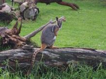 Zoo d'Adélaïde 35